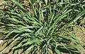 Les Plantes Cultivades. Cereals. Imatge 3198.jpg