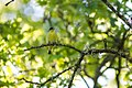 Lesser goldfinch (26434125235).jpg