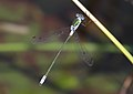 Lestes sponsa - Tiergarten Schönbrunn 3.jpg