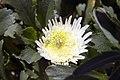 Leucanthemum x superbum Esther Reed 0zz.jpg