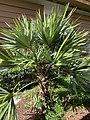 Leucothrinax morrisii at Mounts Botanical Garden 02.jpg