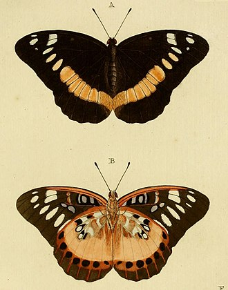 Archduke (butterfly) - Image: Lexias aeropa