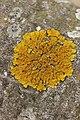 Lichen (29015617148).jpg