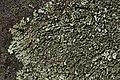 Lichen (42119054722).jpg