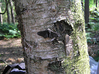 Coloration evidence for natural selection - Bernard Kettlewell claimed that changes in the frequencies of light and dark morphs of the peppered moth, Biston betularia were direct evidence of natural selection.
