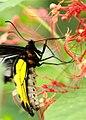 Life History of Southern Birdwing (2801788966).jpg