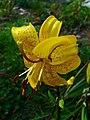 Lilium 'Citronella' Hybride 02.JPG