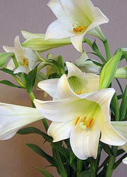 Lilium longiflorum.jpg