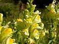 Linaria vulgaris (3509471305).jpg