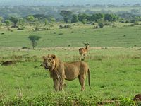 Lion and Ugandan Kob in Murchison Falls National Park.JPG