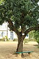 Lisbon, Jardim Botânico da Ajuda, carob tree (Ceratonia siliqua).JPG
