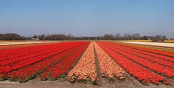Lisse, veld met tulpen bij de Zwartelaan IMG 8946 2021-04-27 11.19.jpg