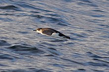 Little shearwater (Puffinus assimilis).jpg