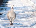 Llama at Gibbet Moor, Derbyshire.jpg