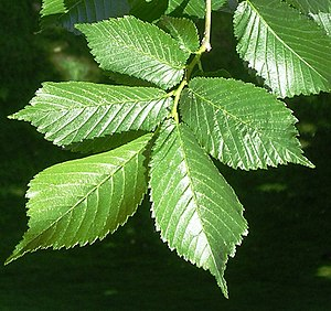 Ulmus 'Lobel' - Image: Lobel leaves 1