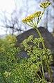 Lomatium grayi 2.jpg