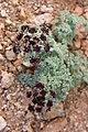 Lomatium mohavense.jpg