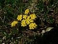 Lomatium utriculatum 37755.JPG