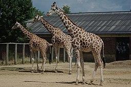 London zoo, UK (4827846440)