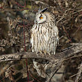 Long-eared Owl (Asio otus) (8520159665).jpg