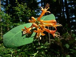 Honeysuckle - L. ciliosa