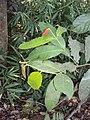 Lophopetalum wightianum 12.JPG