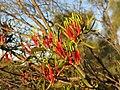 Loranthaceae34984542703 84a8ffdfd7 o.jpg