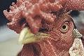 Lost Rooster (Unsplash).jpg