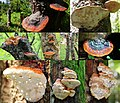 Lots of old and young (see the Guttation drops^^) Fomitopsis pinicola (Red Belt Conk or Red-belted Bracket, D= Rotrandiger Baumschwamm, NL= Roodgerande houtzwam in the Black Forest at begin May 2015 - panoramio.jpg