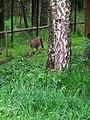 Luchs Wildpark Alte Fasanerie Klein-Auheim Juni 2012.JPG