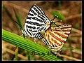 Lycaenidae (4463520253).jpg
