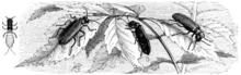 Une mouche : un faux grain de beauté dans MOUCHE 220px-Lytta_vesicatoria_Spanische_Fliege_Brehms