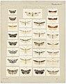 MA I437626 TePapa Plate-XXVII-The-butterflies full.jpg