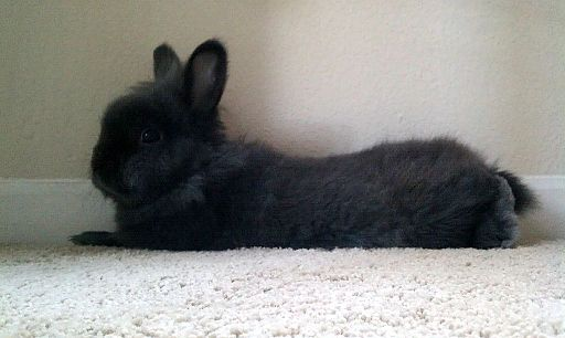 MRF Pet Rabbit 4 2012-09-01