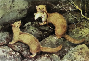Mountain weasel - Painting by A. N. Komarov.