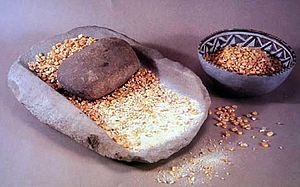 Metate - Mano, metate and bowl of corn. Museum display of Ancestral Pueblo artifacts at Mesa Verde National Park.