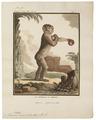 Macacus ecaudatus - 1700-1880 - Print - Iconographia Zoologica - Special Collections University of Amsterdam - UBA01 IZ20000063.tif