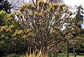 Madeira, Palheiro Gardens -Lagerstroemia indica (China) IMG 2200.JPG