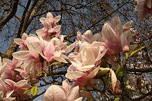 Magnolia Wikipedia