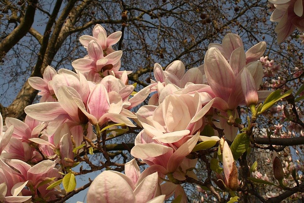 Magnolia flowers (Wiesbaden, Germany)