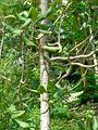 Magnolia sharpii 2.jpg