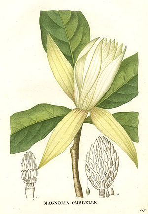 Jean Henri Jaume Saint-Hilaire - Magnolia tripetala, as illustrated by Jaume, in La flore et la pomone françaises.