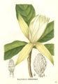 Magnolia tripetala.jpg