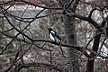 Magpie (pica pica) from Greece.jpg