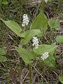 Maianthemum bifolium Oulu, Finland 11.06.2013.jpg