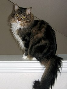 Maine Coon - Wikipedia