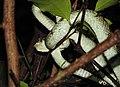 Malabar Pit Viper Trimeresurus malabaricus by Dr. Raju Kasambe DSCN0082 (1).jpg