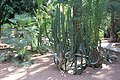 Malpighiales - Euphorbia canariensis - 3.jpg