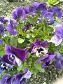 Malpighiales - Viola x wittrockiana 2 - 2011.04.19.jpg