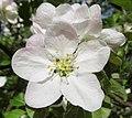 Malus in flower Яблоня цветет в Санкт Петербурге 01.jpg